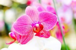 Μακροεντολή του ρόδινου λουλουδιού ορχιδεών στο ζωηρόχρωμο bokeh Στοκ φωτογραφία με δικαίωμα ελεύθερης χρήσης