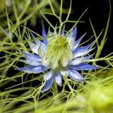 Μακροεντολή του damascena Nigella Στοκ εικόνα με δικαίωμα ελεύθερης χρήσης