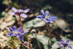 Μακροεντολή του hepatica ή liverwort των λουλουδιών anemone ενάντια στο φως του ήλιου Στοκ Εικόνες