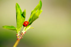 Μακροεντολή του ladybug στον κλάδο άνοιξη στοκ φωτογραφία με δικαίωμα ελεύθερης χρήσης