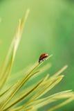Μακροεντολή του ladybug Στοκ Φωτογραφία