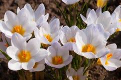 Μακροεντολή των άσπρων λουλουδιών κρόκων Στοκ Φωτογραφίες
