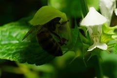 Μακροεντολή των μεγάλων κόκκινων καυκάσιων μελισσών που κρύβεται κάτω από nettle Lam λουλουδιών Στοκ Εικόνες