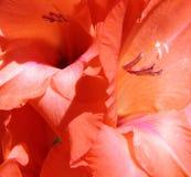 Μακροεντολή των πετάλων gladiolus Στοκ φωτογραφίες με δικαίωμα ελεύθερης χρήσης