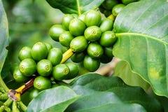 Μακροεντολή των πράσινων μούρων καφέ Στοκ εικόνες με δικαίωμα ελεύθερης χρήσης