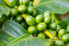 Μακροεντολή των πράσινων arabica μούρων καφέ Στοκ φωτογραφία με δικαίωμα ελεύθερης χρήσης