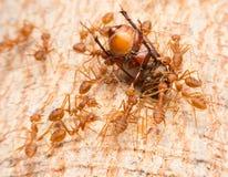 Μακροεντολή των τροπικών κόκκινων μυρμηγκιών πυρκαγιάς που πιάνουν ένα θήραμα Στοκ Εικόνα