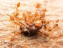 Μακροεντολή των τροπικών κόκκινων μυρμηγκιών πυρκαγιάς που πιάνουν ένα θήραμα Στοκ Εικόνες