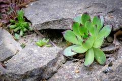 Μακροεντολή των succulent εγκαταστάσεων Αυτά συναρπαστικές εγκαταστάσεις, αποκαλούμενες Sempervivum, είναι μέλη του Crassulacaea Στοκ φωτογραφία με δικαίωμα ελεύθερης χρήσης