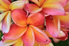 Μακροεντολή υποβάθρου λουλουδιών Plumeria Στοκ Εικόνα