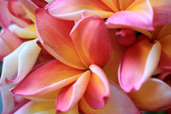 Μακροεντολή υποβάθρου λουλουδιών Plumeria Στοκ εικόνα με δικαίωμα ελεύθερης χρήσης