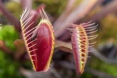Μακροεντολή δύο της εντομοφάγα Αφροδίτη παγίδας & x28 μυγών Dionaea muscipula& x29  Στοκ Εικόνα