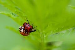 Μακροεντολή δύο του ζευγαρώματος Ladybugs Στοκ Εικόνες