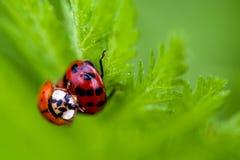 Μακροεντολή δύο του ζευγαρώματος Ladybugs Στοκ φωτογραφίες με δικαίωμα ελεύθερης χρήσης