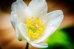 Μακροεντολή anemone Snowdrop Στοκ Φωτογραφία