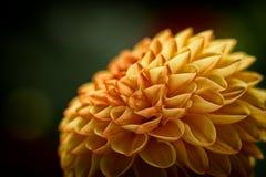 Μακροεντολή Crysanthemum Στοκ Φωτογραφία