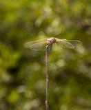 Μακροεντολή: Dragongfly Στοκ εικόνα με δικαίωμα ελεύθερης χρήσης
