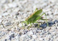 Μακροεντολή grasshopper Στοκ εικόνες με δικαίωμα ελεύθερης χρήσης