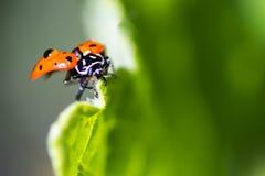 Μακροεντολή Ladybug Στοκ φωτογραφία με δικαίωμα ελεύθερης χρήσης