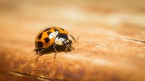 μακροεντολή ladybug Στοκ Φωτογραφίες
