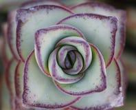 Μακροεντολή succulent Στοκ εικόνες με δικαίωμα ελεύθερης χρήσης