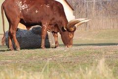Μακροχρόνια κερασφόρος βοσκή αγελάδων Ankole Στοκ εικόνες με δικαίωμα ελεύθερης χρήσης