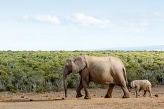 Μακροχρόνιος περίπατος στην ελεύθερη ελευθερία - αφρικανικός ελέφαντας του Μπους Στοκ φωτογραφία με δικαίωμα ελεύθερης χρήσης