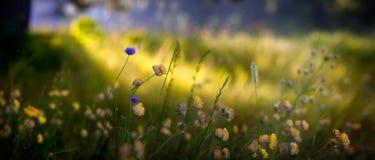 Μακρο άγρια λουλούδια πανοράματος του τριφυλλιού Στοκ Φωτογραφία