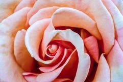 Μακρο άνθος των ρόδινων τριαντάφυλλων Πέταλα για το υπόβαθρο Στοκ Φωτογραφία
