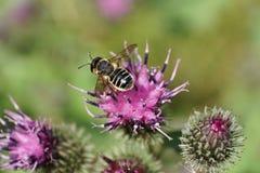 Μακρο άποψη άνωθεν της καυκάσιας άσπρος-γκρίζας μέλισσας από τα υμενόπτερα στοκ εικόνα