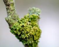 Μακρο άποψη έναν πράσινο μύκητα που βλέπει την ανάπτυξη σε ένα δέντρο της Apple Στοκ Φωτογραφίες