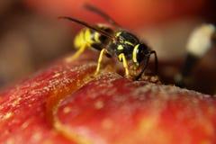 Μακρο άποψη μιας σφήκας που τρώει την κόκκινη Apple Στοκ φωτογραφία με δικαίωμα ελεύθερης χρήσης
