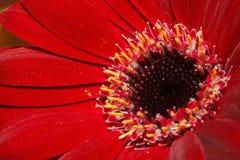 Μακρο άποψη σχετικά με κόκκινο Gerber Daisy ανασκόπησης εστίαση που απομονώνεται βαθιά πέρα από το λευκό σμέουρων Στοκ Εικόνες