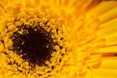 Μακρο άποψη σχετικά με το κίτρινο gerber ανασκόπησης εστίαση που απομονώνεται βαθιά πέρα από το λευκό σμέουρων Στοκ Εικόνες