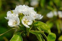 Μακρο άποψη των λεπτών λουλουδιών ανθών που βλέπουν σε ένα δέντρο αχλαδιών στα τέλη της άνοιξης, που λαμβάνεται μετά από ένα ντου Στοκ Φωτογραφία