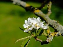 Μακρο άποψη των λεπτών λουλουδιών ανθών που βλέπουν σε ένα δέντρο αχλαδιών στα τέλη της άνοιξης, που λαμβάνεται μετά από ένα ντου Στοκ Φωτογραφίες