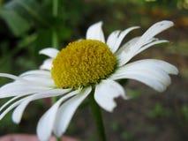 Μακρο άσπρη μαργαρίτα Στοκ Εικόνες