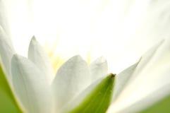 μακρο άσπρος λωτός με τη μαλακή εστίαση Στοκ Εικόνες