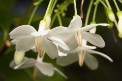 Μακρο άσπρο λουλούδι Στοκ Φωτογραφία