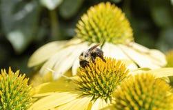 Μακρο αμερικανικό Bumble-bee pensylvanicus Bombus στο διπλό λουλούδι κώνων καταστρωμάτων στοκ φωτογραφίες με δικαίωμα ελεύθερης χρήσης