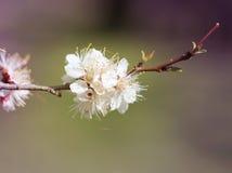 Μακρο ανθίζοντας κεράσι λουλουδιών Στοκ Εικόνες