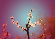 Μακρο ανθίζοντας κεράσι λουλουδιών Στοκ φωτογραφία με δικαίωμα ελεύθερης χρήσης