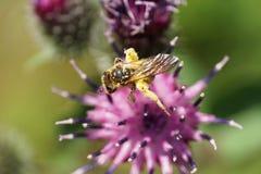 Μακρο ανοικτό καφέ δασύτριχη καυκάσια άγρια μέλισσα Macropis fulvipes επάνω στοκ εικόνες με δικαίωμα ελεύθερης χρήσης