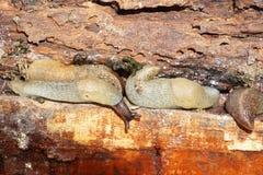 Μακρο αποικίες του καυκάσιου Arion γυμνοσαλιάγκων μαλακίων ater σε μια αποσύνθεση Στοκ Εικόνα