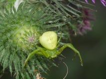 Μακρο αράχνη - γεύμα luesha ατόμων θέλω να αγκαλιάσω τις αράχνες και τους σκώρους σας Στοκ Φωτογραφία