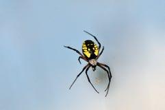 μακρο αράχνη κήπων Στοκ Φωτογραφία