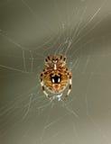 Μακρο αράχνη στοκ εικόνα