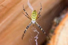 Μακρο αράχνη Argiope Bruennichi φωτογραφιών στον Ιστό Στοκ Εικόνες