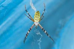 Μακρο αράχνη Argiope Bruennichi φωτογραφιών Στοκ φωτογραφία με δικαίωμα ελεύθερης χρήσης