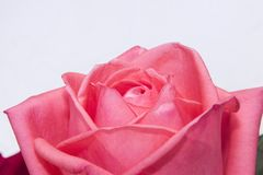 Μακρο αυξήθηκε φωτογραφία, το λουλούδι συλλαμβάνει Στοκ εικόνα με δικαίωμα ελεύθερης χρήσης